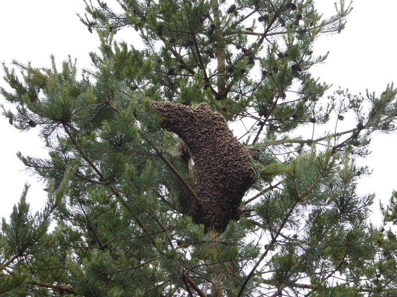File:Swarm in tree.jpg